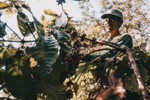 Anwar, salah satu petani Kopi Tempur, sedang memetik kopi dikebunnya.
